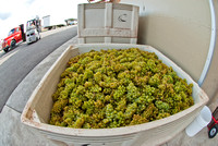 Chardonnay waiting its turn in the press