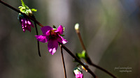 Salmonberry in bloom